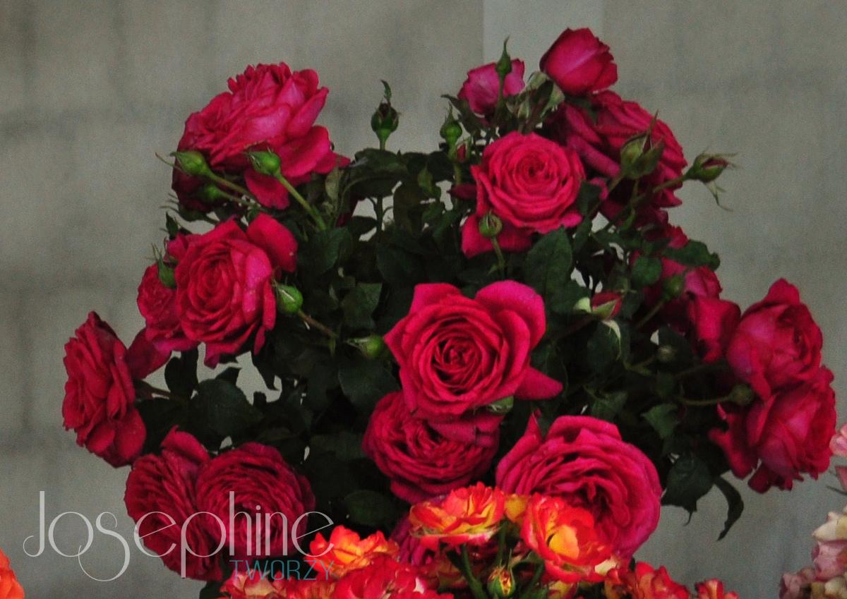 Odmiana róży J.W von Goethe