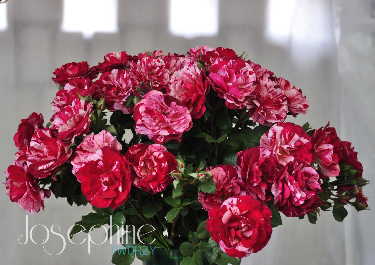 Odmiana róży New Imagine