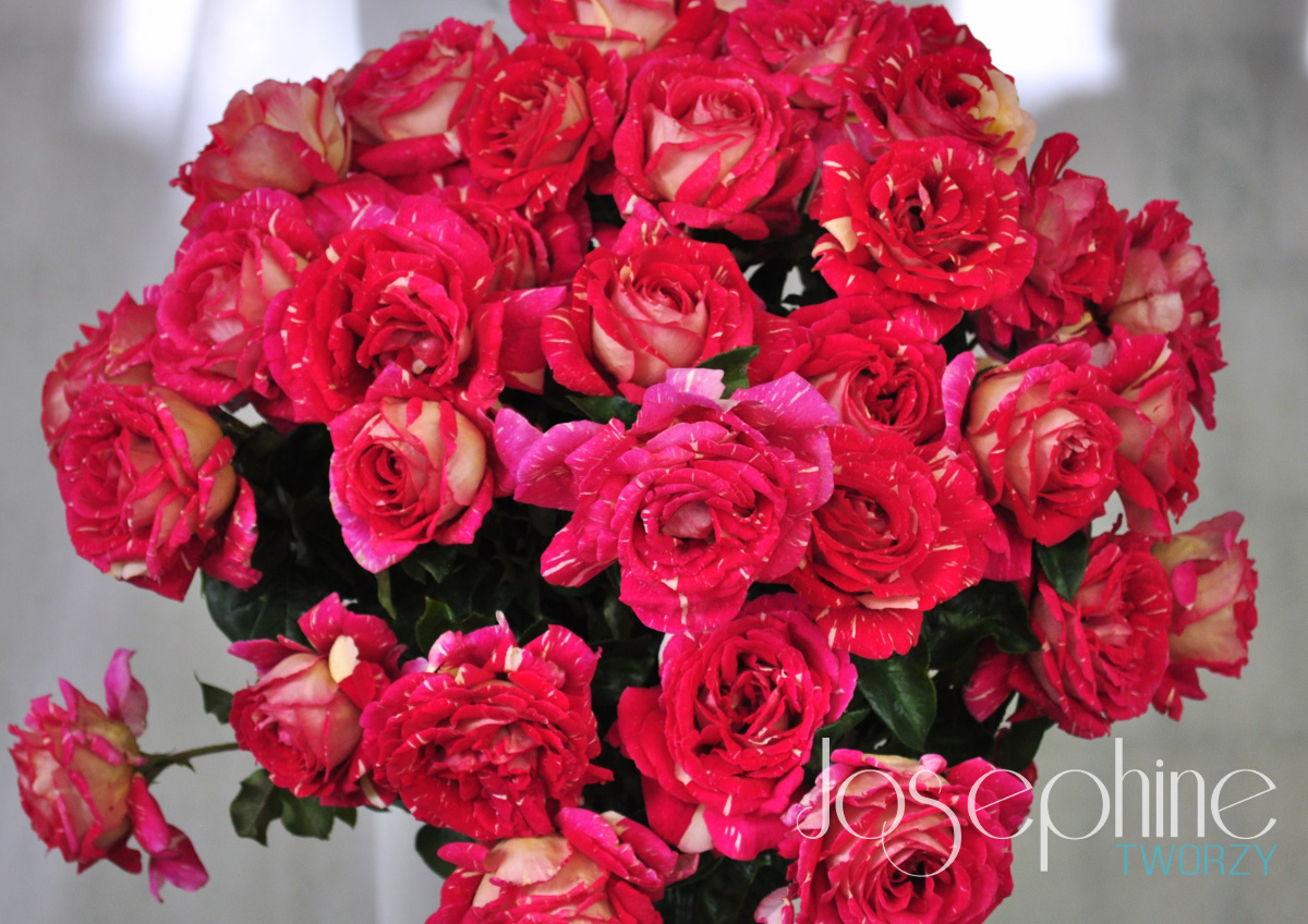 Odmiana róży OLA
